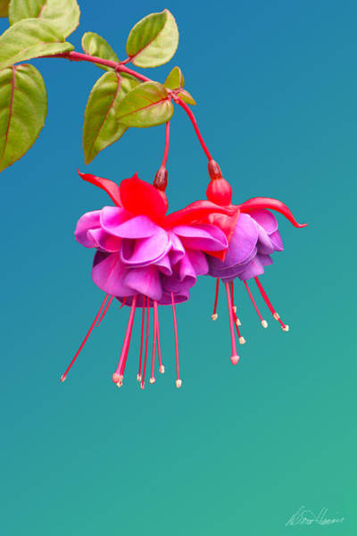 Photograph - Hot Pink Fuchsias by Diana Haronis