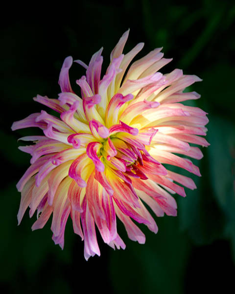 Photograph - Hot Pink Karma Sangria Dahlia by Julie Palencia