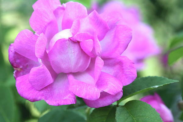 Photograph - Hot Pink by Ree Reid
