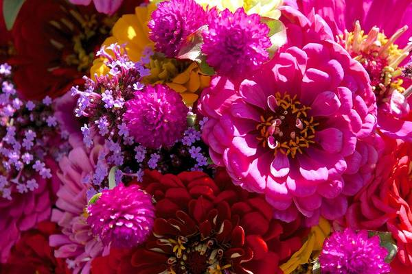 Photograph - Hot Pink Zinnia Explosion by Polly Castor