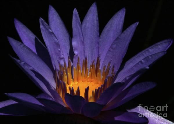 Photograph - Hot Purple Water Lily by Sabrina L Ryan