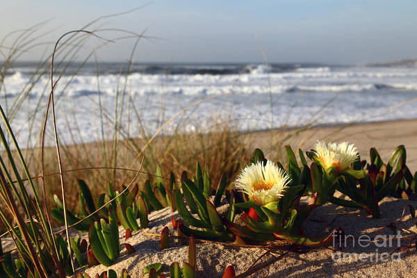 Photograph - Hottentot Plant On Atlantic Coast Portugal by James Brunker