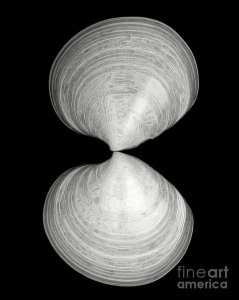 Photograph - Hourglass Shells by Patti Whitten