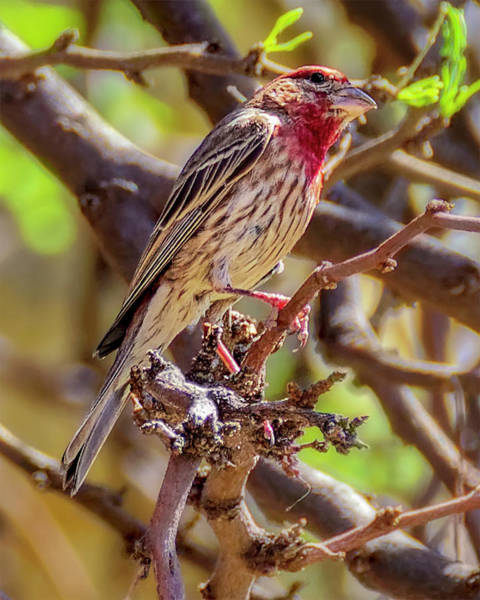 Photograph - House Finch 1834 by Mark Myhaver