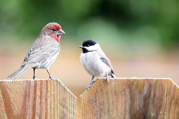 Photograph - House Finch And Chickadee by Ericamaxine Price