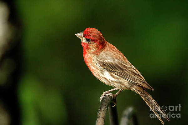 Wall Art - Photograph - House Finch by Darren Fisher