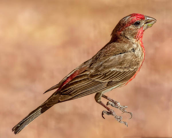 Photograph - House Finch H1859 by Mark Myhaver