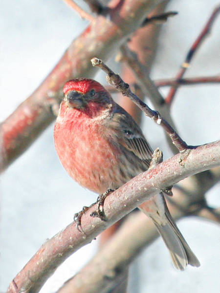 Wall Art - Photograph - House Finch In An Apple Tree 2 by Laurie With