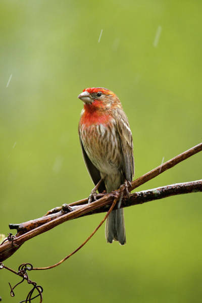 Photograph - House Finch In The Rain by Christina Rollo