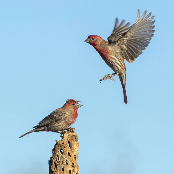 Photograph - House Finch Pair by Judi Dressler
