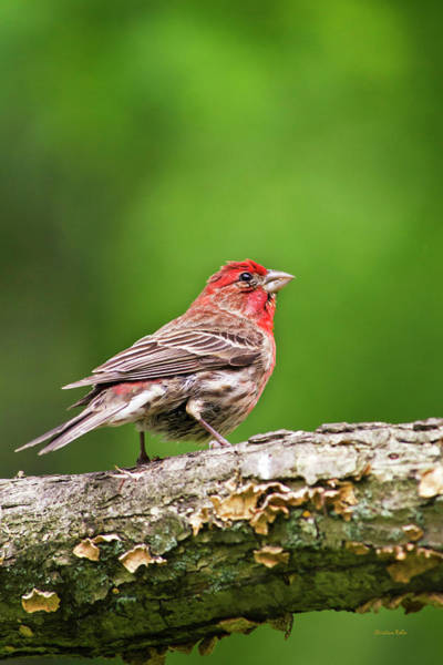 Photograph - House Finch Perched by Christina Rollo