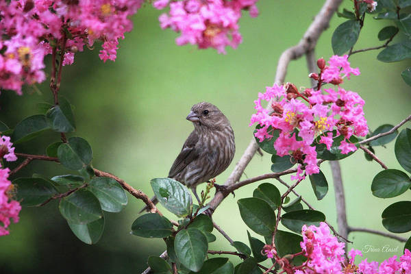 Photograph - House Finch by Trina Ansel