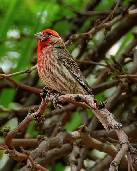 Photograph - House Finch V1833 by Mark Myhaver