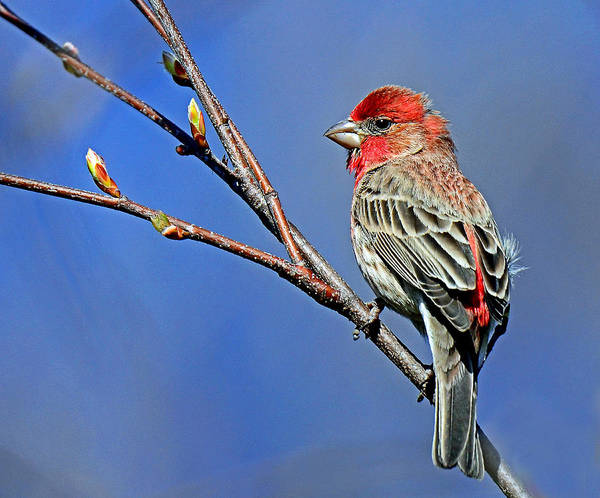 Painting - House Finch Welcomes Spring by Rodney Campbell