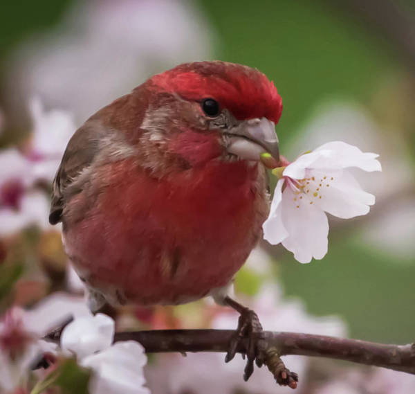 Photograph - House Finch With Flower Square by Terry DeLuco