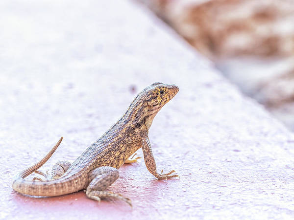 Photograph - House Gecko by Framing Places