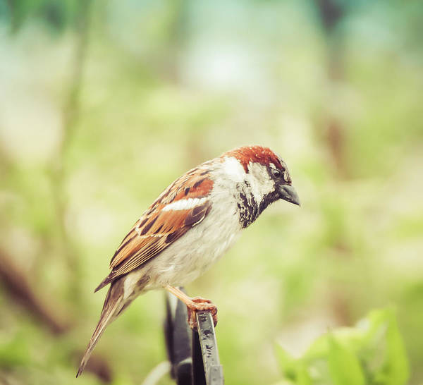 Photograph - House Sparrow by Dan Sproul