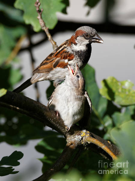 Photograph - House Sparrow - Feed Me Daddy by Sue Harper