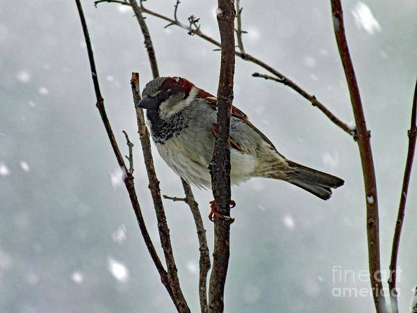 White-throated Sparrow Photograph - House Sparrow - Late March Snow Storm by Cindy Treger