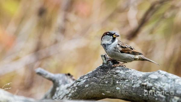 House Sparrow Photograph - House Sparrow by Torbjorn Swenelius