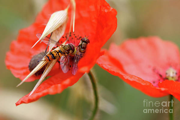 Wall Art - Photograph - Hoverflies On Wolf Poppy by Michal Boubin
