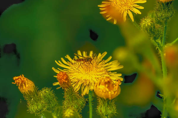 Photograph - Hoverfly Dandelion by Leif Sohlman