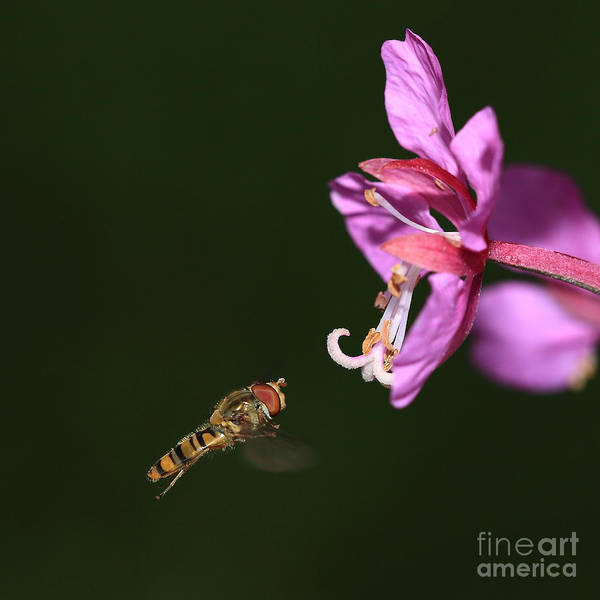 Photograph - Hoverfly In Flight by Maria Gaellman