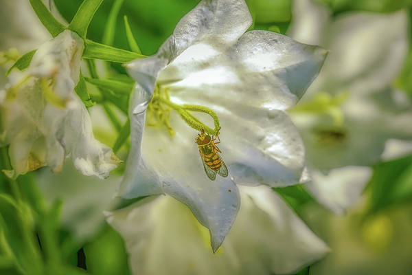 Photograph - Hoverfly In White Hare-bell. by Leif Sohlman