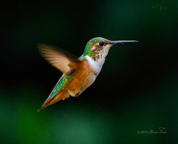 Photograph - Hovering Allen's Hummingbird by Brian Tada