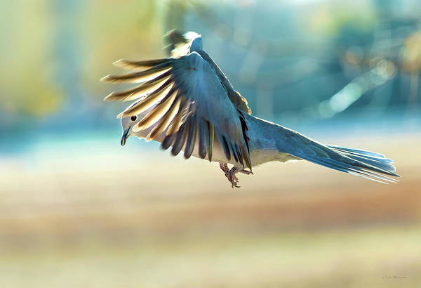 Photograph - Hovering Dove In Flight by Judi Dressler