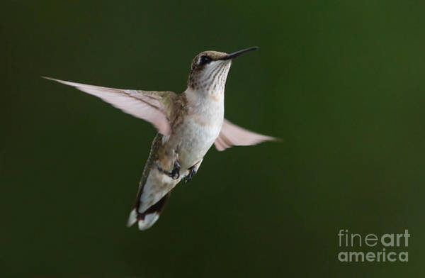Photograph - Hovering Hummer 3 by Kevin McCarthy