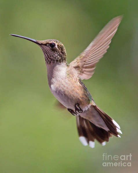Photograph - Hovering Hummer 1 by Kevin McCarthy