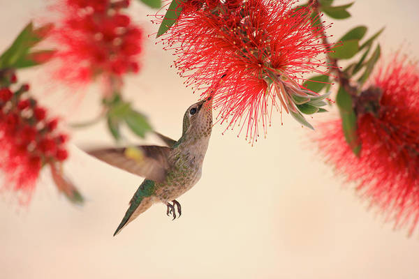Bottlebrush Photograph - Hovering Hummingbird by Penny Meyers