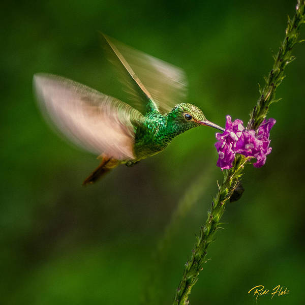Photograph - Hovering In The Vervain  by Rikk Flohr