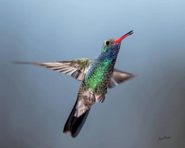 Broad-tailed Hummingbird Photograph - Hovering Jewel by Jurgen Lorenzen