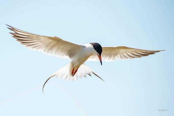 Photograph - Hovering Tern by Judi Dressler