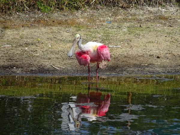 Wall Art - Photograph - How Do You Do Mr. Roseate Spoonbill by Red Cross