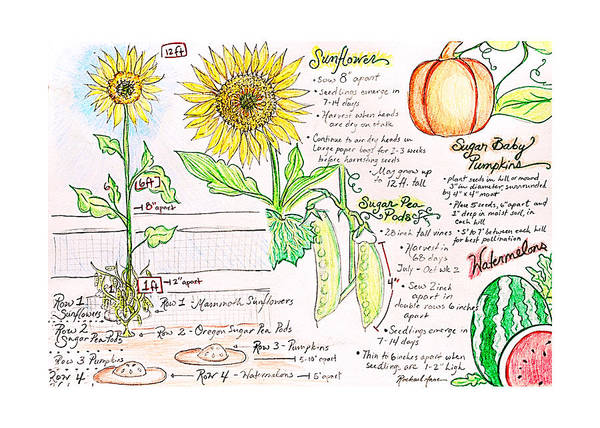 Sunflower Seeds Drawing - How Does Your Garden Grow by Rachael Anne