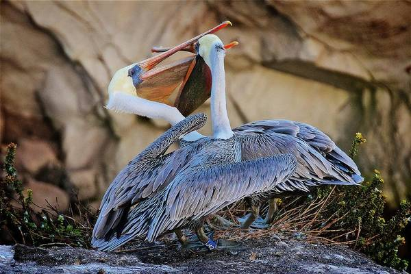 Photograph - How Pelicans Kiss, California Brown Pelicans by Flying Z Photography by Zayne Diamond