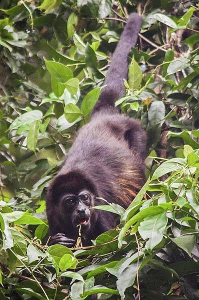 Photograph - Howler Monkey Eating Fruit by NaturesPix