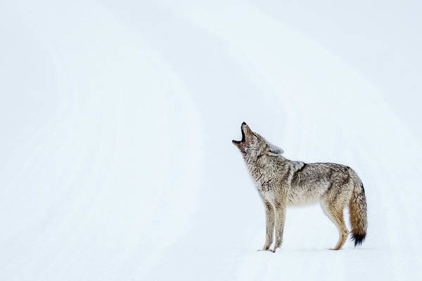 Photograph - Howling Coyote - Yellowstone by Stuart Litoff