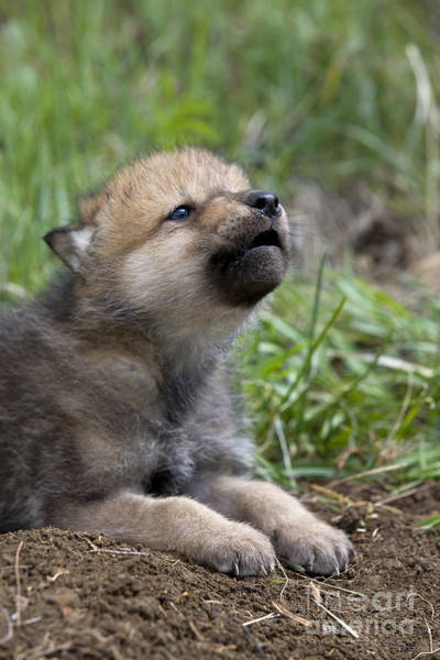 Timber Wolves Photograph - Howling Wolf Cub by Jean-Louis Klein & Marie-Luce Hubert