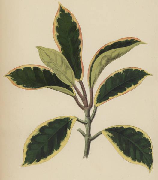 Leaf Venation Wall Art - Painting - Hoya Variegata by English School