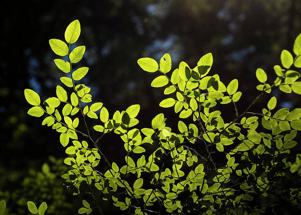 Photograph - Huckleberry Leaves by Robert Potts