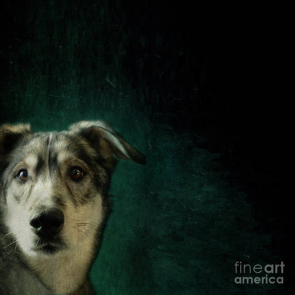 Wall Art - Photograph - Hudson The Husky by Priska Wettstein