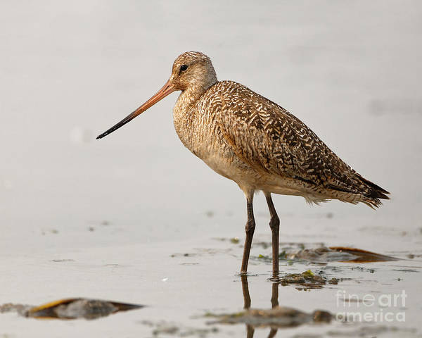 Wall Art - Photograph - Marbled Godwit  by Sue Harper