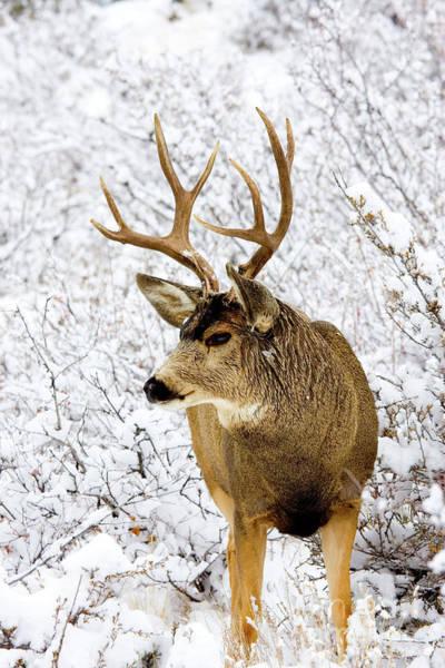 Photograph - Huge Buck Deer In The Snowy Woods by Steve Krull