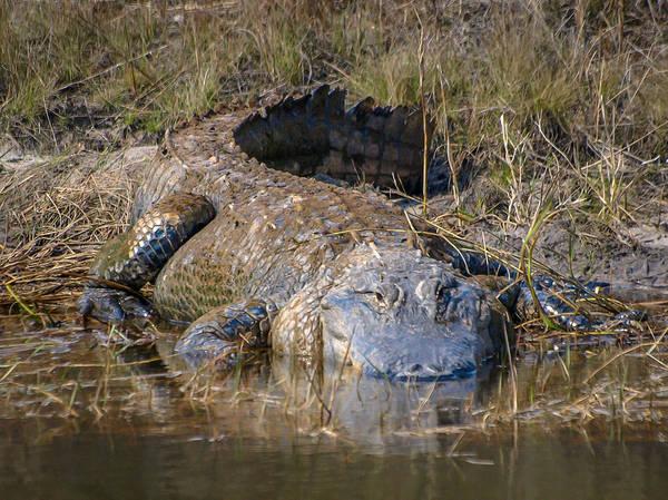 Photograph - Huge Gator by Tom Claud