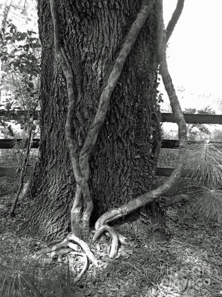 Photograph - Huge Vines And The Oak Tree by D Hackett