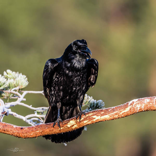 Photograph - Huginn The Raven by Torbjorn Swenelius